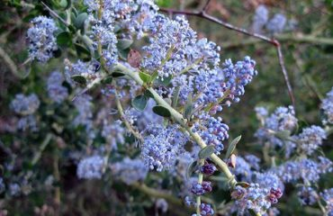 California Lilac - Water-wise Plants San Diego CA